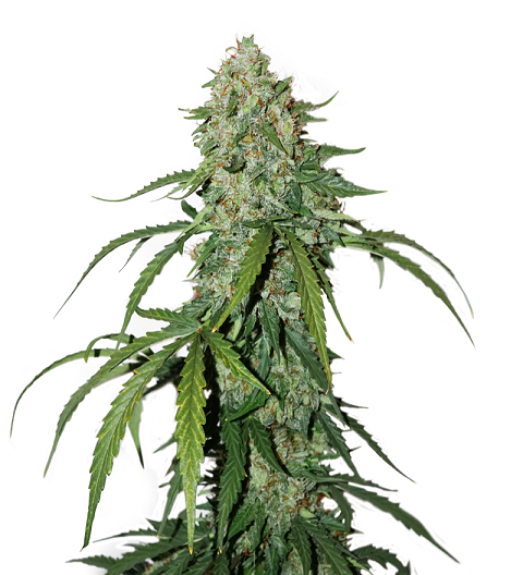 CBD 1:1 Silver Lime Haze Auto by Seed Stockers