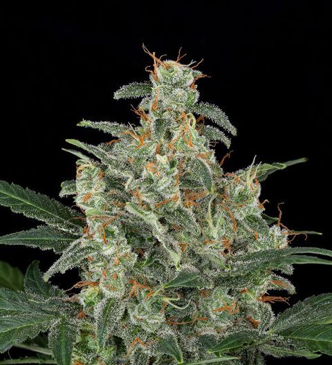 Automatic Cheese by Dinafem Seeds