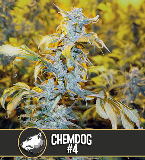 Chemdog #4 by Blim Burn Seeds