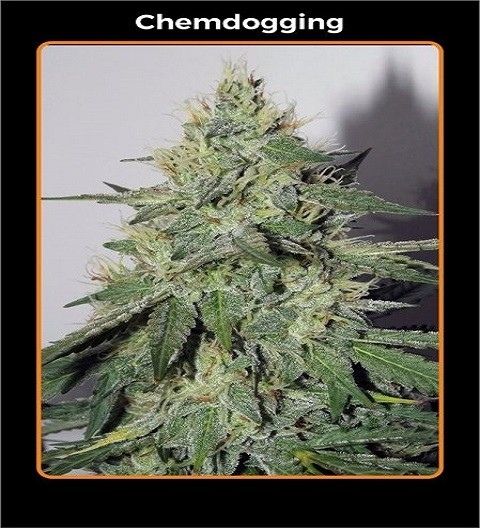 Chemdogging by Mephisto Genetics