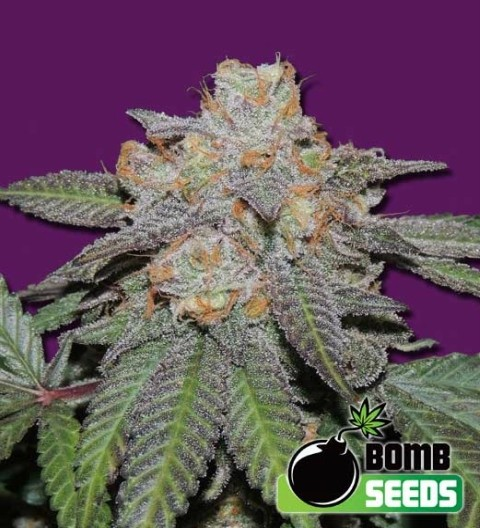 Cherry Bomb Auto Feminized Marijuana Seeds