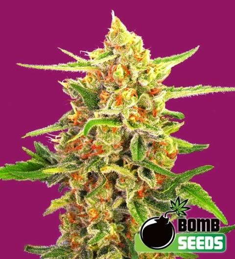 Cherry Bomb Feminized – Bomb Seeds