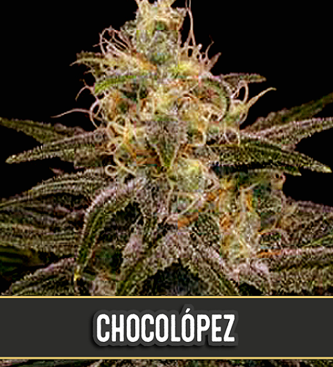 Chocolopez by Blim Burn Seeds
