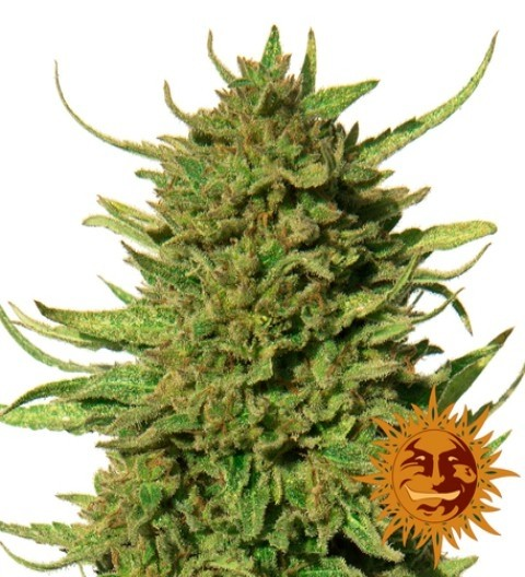 Critical Kush Feminized Marijuana Seeds