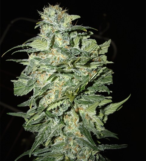 Crop Circle Auto by Cream of the Crop Seeds