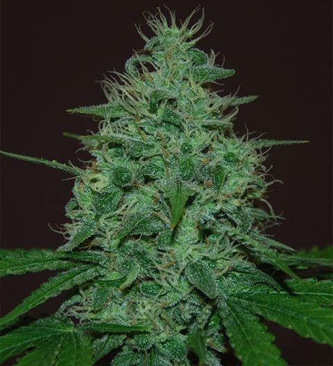 Cropical Fruit Auto by Cream of the Crop Seeds