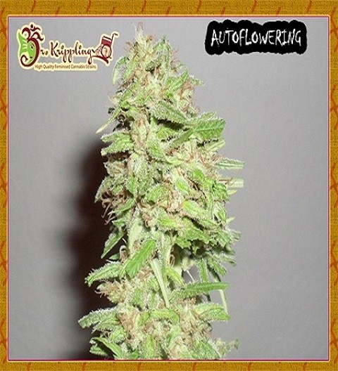 Choc Matic by Dr Krippling Seeds