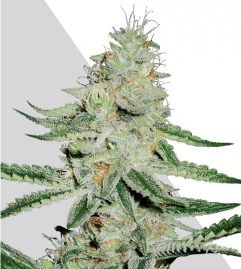 Dreamberry Marijuana Seeds