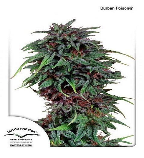 Durban Poison by DP Seeds