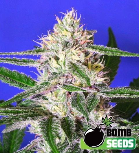 Edam Bomb Feminized - Bomb Seeds