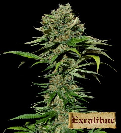 Excalibur by Eva Seeds
