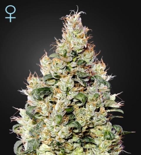 Exodus Cheese Auto CBD Feminized Marijuana Seeds
