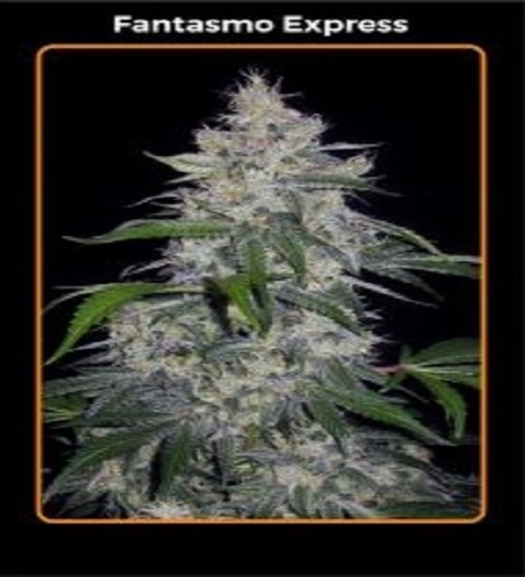 Fantasmo Express by Mephisto Genetics