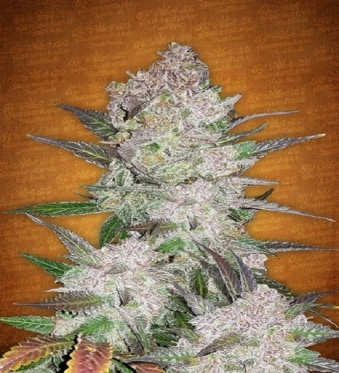 Cream Cookies Auto by Fast Buds Seeds