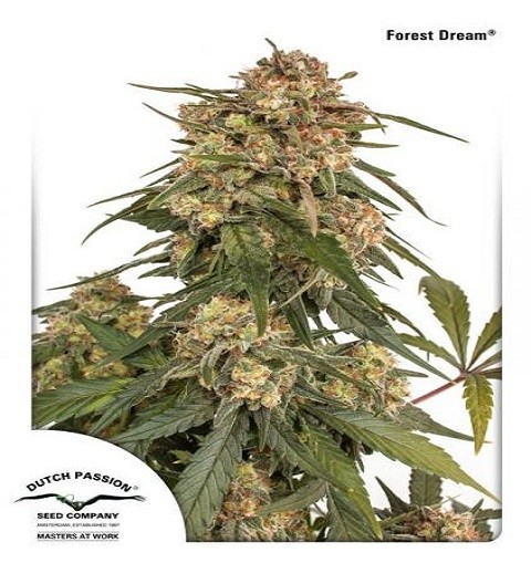 Forest Dream by DP Seeds