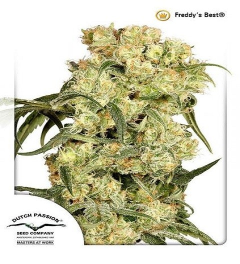 Freddy's Best by DP Seeds