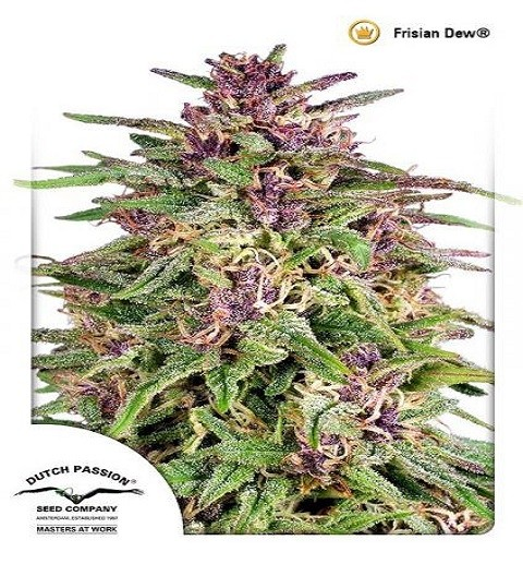 Frisian Dew by DP Seeds