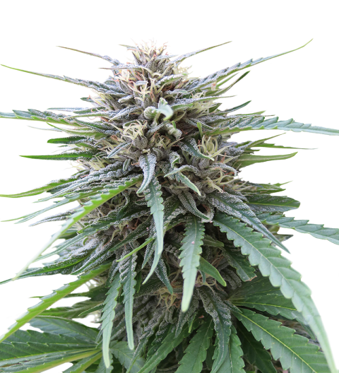 Frizzy Kush by Seed Stockers