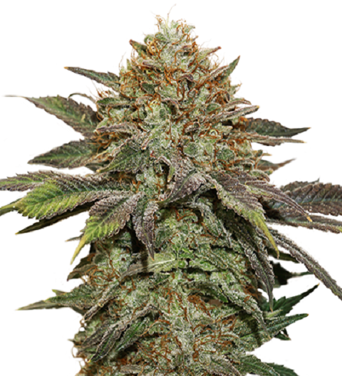 Fruit Cake Auto by Seed Stockers