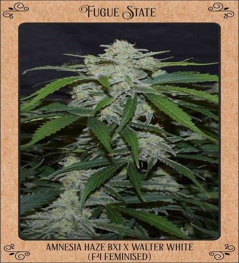 Fugue State by Mephisto Genetics