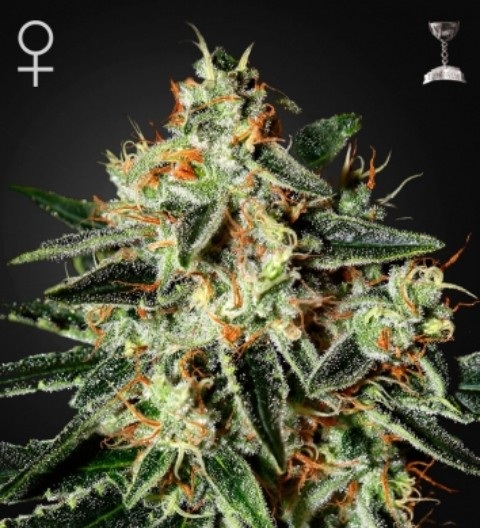 GH Cheese seeds