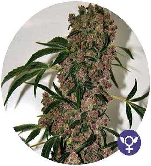 Girl Scout Cookies Extreme by Bulldog Seeds