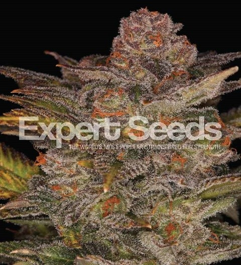 Glueberry Auto by Expert Seeds