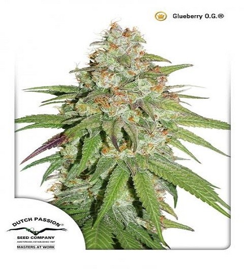 Glueberry O.G.Feminized by Dutch Passion Seeds