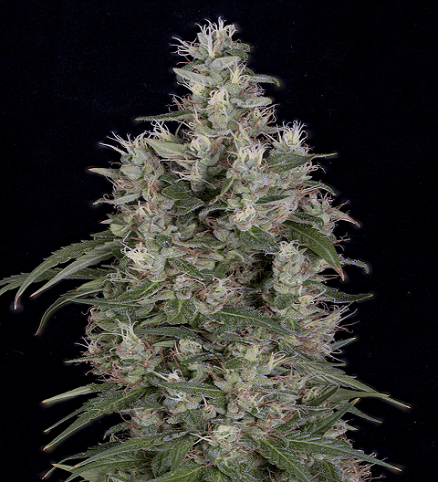 Grandaddy Banner by Bighead Seeds