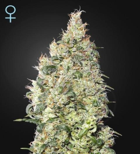 Great White Shark CBD Feminized Marijuana Seeds