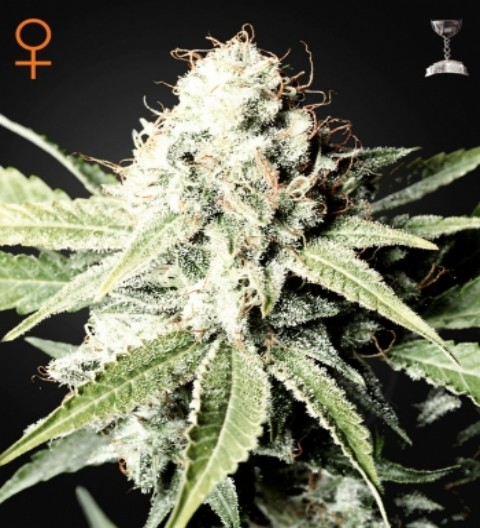 Great White Shark Feminized by Green House Seeds