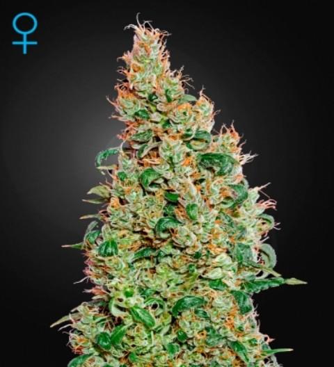 Green-O-Matic Feminized Marijuana Seeds