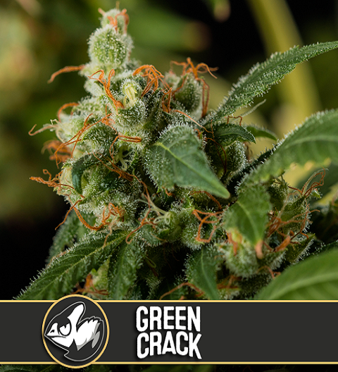 Green Crack by Blim Burn Seeds