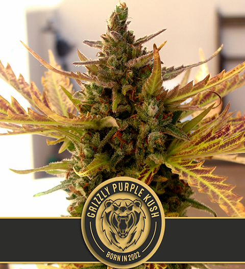 Grizzly Purple Kush - Blim Burn Seeds