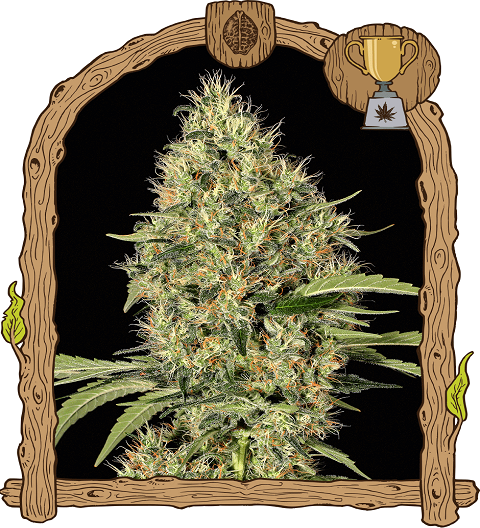 Gypsy widow by Exotic Seeds