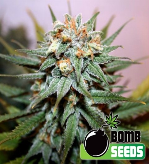 Hash Bomb Regular – Bomb Seeds