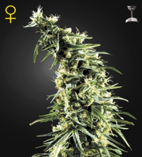 Hawaiian Snow Feminized Marijuana Seeds