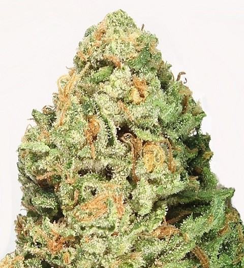 Fruit Punch Feminized by Heavyweight Seeds