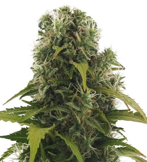 High Density Auto by Heavyweight Seeds