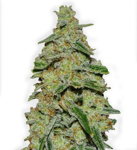 Lemon Cake Feminized by Heavyweight Seeds