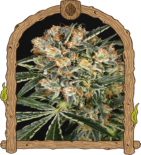 Hippie Therapy CBD by Exotic Seeds