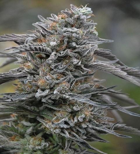 Black D.O.G. Feminized by HSO Seeds
