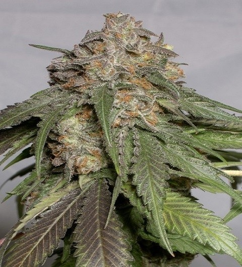 Blueberry Headband Feminized by HSO Seeds