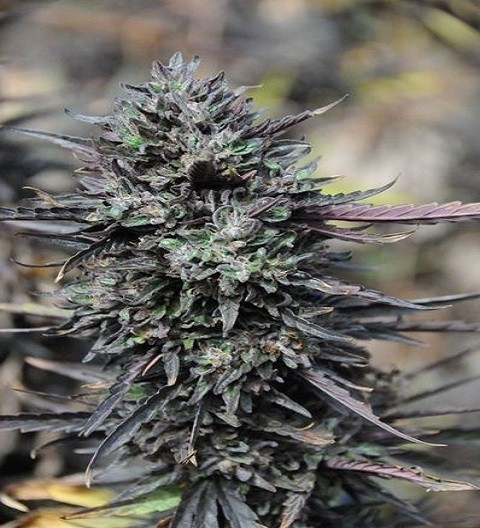 Purple Trainwreck Feminized by HSO Seeds