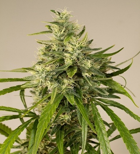 Trainwreck Feminized by HSO Seeds