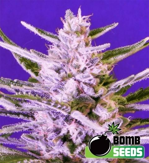 Ice Bomb Feminized - Bomb Seeds