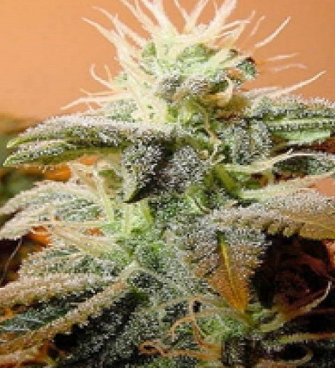 Indoor Mix by Female Seeds
