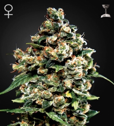 Jack Herer Feminized Marijuana Seeds