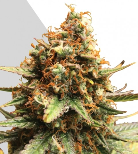 Juicy Lucy Marijuana Seeds