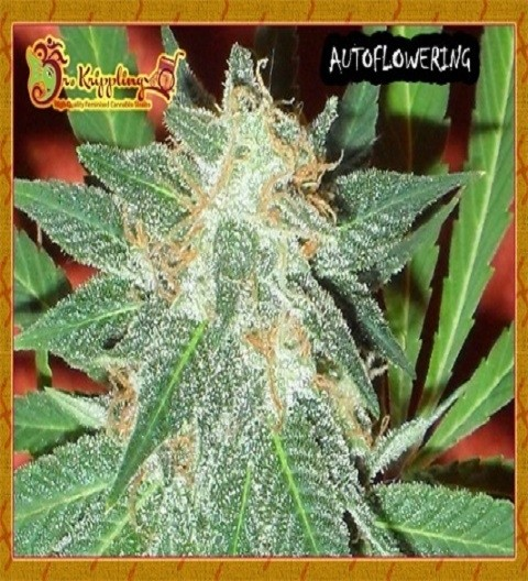 Jumping Black Dash by Dr Krippling Seeds